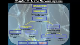 The Central Nervous System vs The Peripheral Nervous System