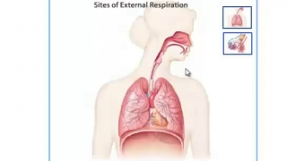 A Quick Review Parts of The Respiratory System