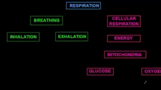 A Quick Review Breathing and Respiration